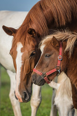 Friendship of little shetland pony with a big horse
