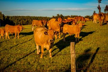 Troupeau de vaches dans le Cantal