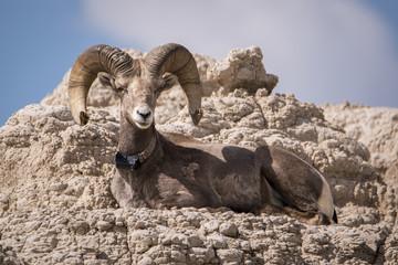 Big horn sheep laying down