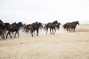 plain with beautiful horses in sunny summer day in Turkey. Herd of thoroughbred horses. mustang with steppe