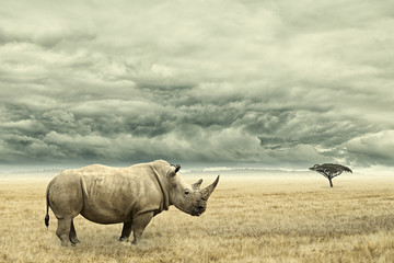 Poster de jardin Rhino Rhino standing in dry African savana with heavy dramatic clouds above