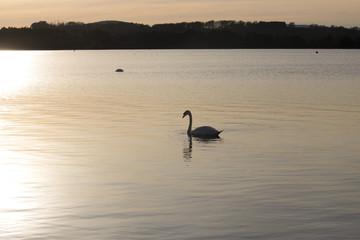 Swan on Loch at Sunset
