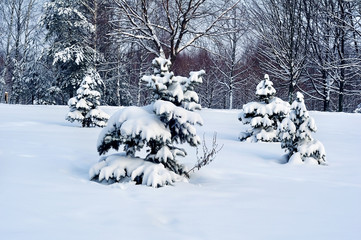 winter landscape (spruces in snow)