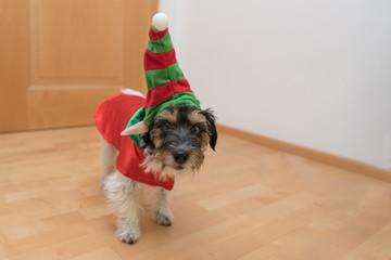 Jack Russell - Hunde Kobold schleicht durch die Wohnung