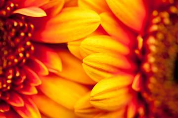 Gerbera jamesonii - beautiful flower with macro details