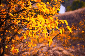 Wall Mural - Tree with yellow leaves in bright autumnal landscape.