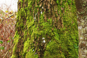 a picture of an Pacific Northwest old growth Big leaf maple tree