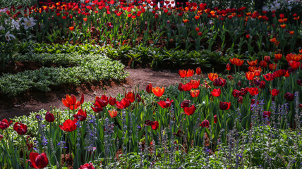 The beautiful tulips and lavender flowers in the garden in spring season.