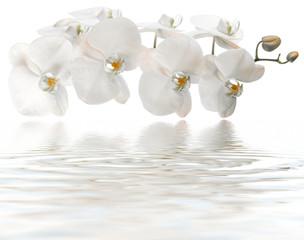 Poster de jardin Orchidée orchidée blanche, reflets remous de spa, massage, fond blanc