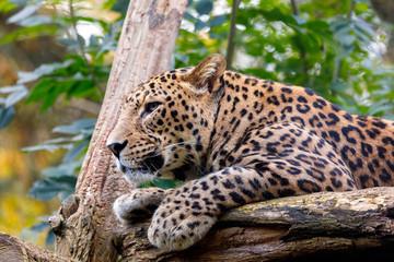Sri Lanka Leopard, Panthera pardus kotiya