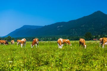 Wall Mural - Herd of cows grazing on a green meadow with Alps on the background