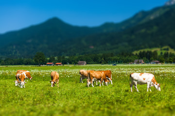 Wall Mural - Herd of cows grazing on a green meadow with Alps on the background. Tilt shift effect applied