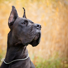 Obraz Black great dane dog - fototapety do salonu