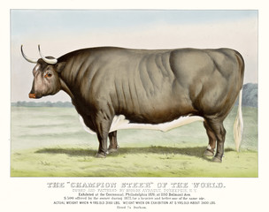 Retro illustration of a beef. Old Champion Steer of the world.