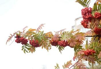 Кусты рябины красной осенью