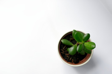 Fototapeta Drzewko szczęścia rosnące w doniczce na białym tle. obraz