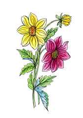 Little dahlias, hand drawing on white background isolated with clipping path.