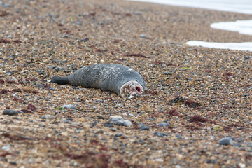Dead seal. Recently killed marine mammal. Rotting carcass of marine animal on beach
