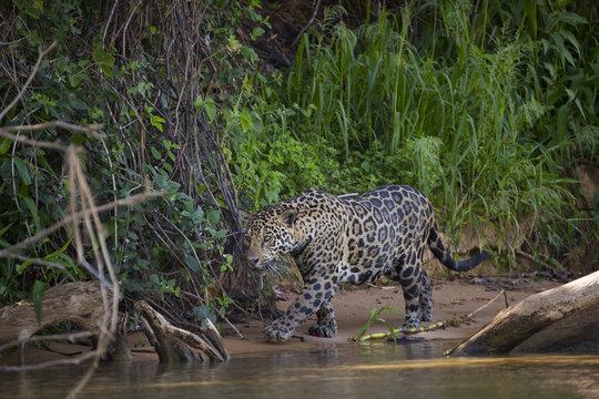Jaguar streift am Ufer entlang