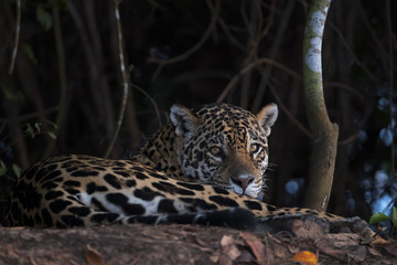 Aluminium Prints Leopard Jaguar beobachtet die Umgebung