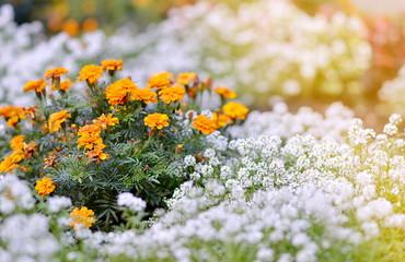 Marigold in the Garden Autumn Time Sunlight Flowers Green Background