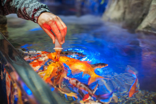 Male hand Feeding fish in aquarium