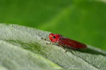 Image of red leafhopper (Bothrogonia sp.,Cicadellidae/Homoptera) on green leaves. Insect. Animal