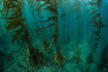 Kelp Forest in California, Channel Islands
