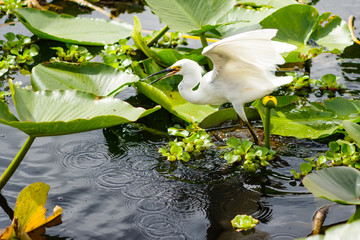 Snowy egret on water lillies