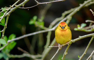 Western Tanager bird