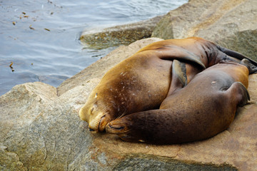 Two wild sea lions on a rock in Monterey, California