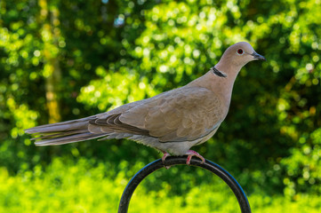 Collared Dove in garden