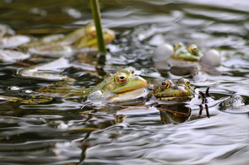 Photo sur Plexiglas Grenouille grenouille