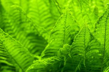 Fresh green fern leaves on blur background in the garden. Texture of fresh fern leaves.