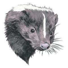 skunk sketch head vector graphics color picture