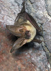 The brown long-eared bat common long-eared bat Plecotus auritus
