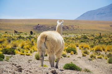 Llama in Atacama desert, Chile