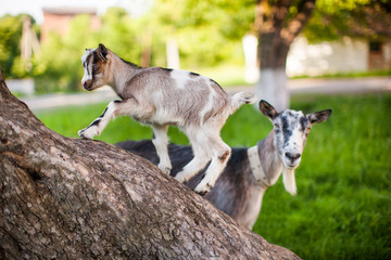A beautiful photo of two goat from mom and baby