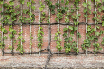 Vines growing on a espalier on a brickwall