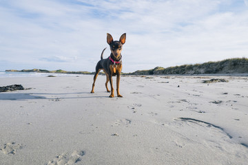 Miniature Pinscher Dogs playing ball on beach
