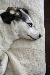 Blue eyed dog lying on quilt