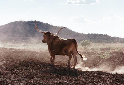 Texas long horn bull walking in dusty field
