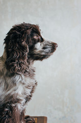 Face of Good-Looking Cocker Spaniel