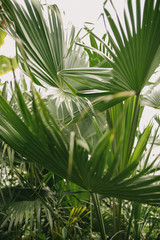 Tropical palm leaves in greenhouse conservatory
