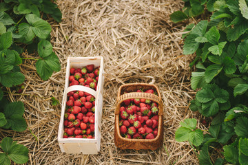two wooden baskets full of strawberries in a strawberry field