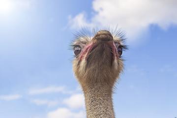 Portrait of a curious ostrich