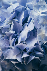 Extreme close up of Hydrangea flower