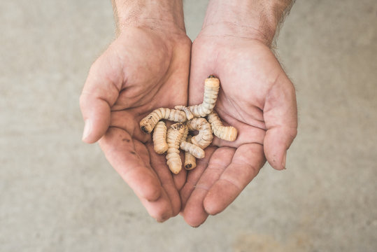 A Person Holds A Bunch Of White Wood Grubs In His Hand