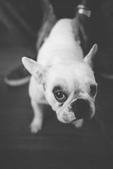 Apprehensive Bulldog