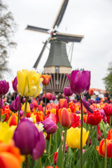 Beautiful landscape of tulips and windmill in Holland